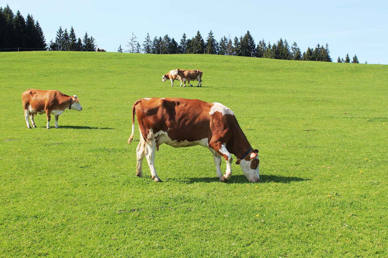 Kühe beim grasen auf einer Weide