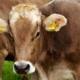 Eine Kuh mit Markierungen im Ohr
