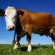 Eine Kuh steht auf einer Weide und blickt in die Kamera